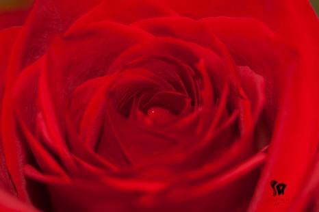 red-rose-closeup
